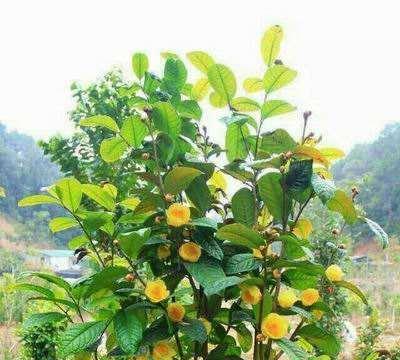 它是植物界大熊猫,一斤上万元难买,黑心茶商用硫磺熏,你敢买吗