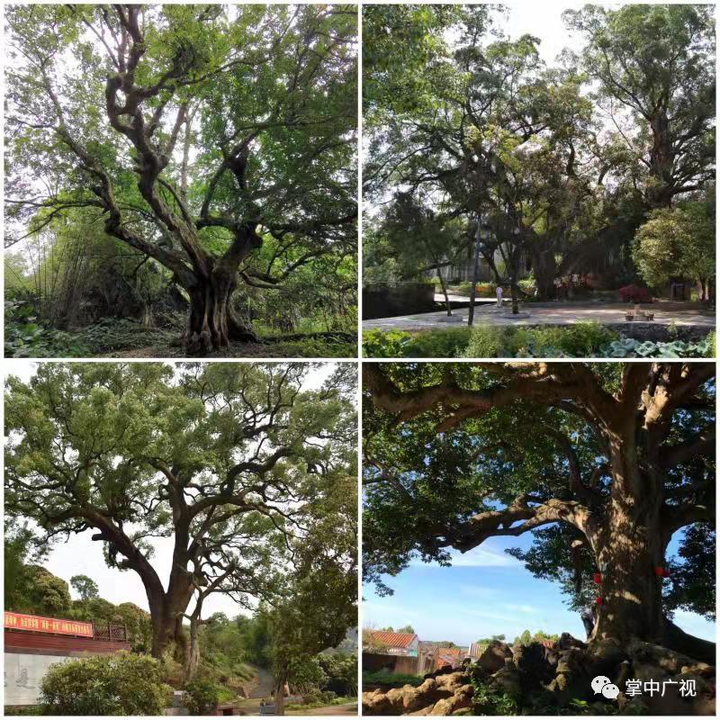广东十大最美古树、十大魅力古树乡村评选揭晓,你家乡上榜了吗?