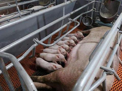趁着猪肉价格下跌赶紧吃猪肉吧!专家:春节猪肉恐破当前最高价