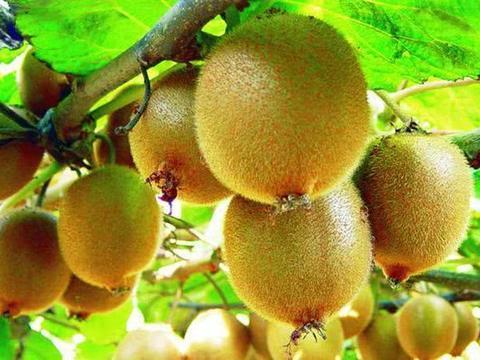 种植猕猴桃,夏季时这4点因素会影响生长,果农们要做好预防措施
