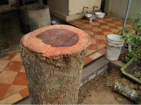 盗贼太猖狂,家门口的海黄被拦腰砍断,老人称此树陪他一起长大