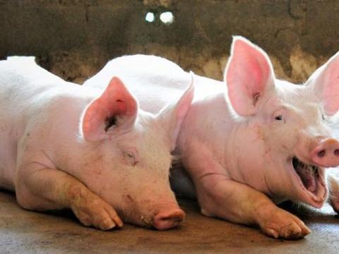 中国迎来好消息猪价15天下降!暂停进口韩猪肉多项措施后猪价46元