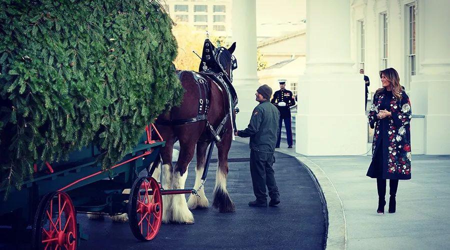 一棵松树需要美国第一夫人盛装迎接 为什么有此必要?