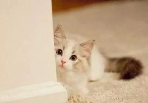 知道布偶猫为什么招人喜欢吗?养了它,连空气中都飘着幸福的泡泡
