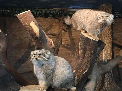 那须动物园新添兔狲宝宝 原来从小就有一张老成脸