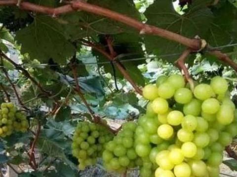 葡萄种植,阳光玫瑰葡萄栽培技术,来学学病虫害防治