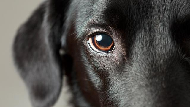 狗狗失明与渐进性视网膜萎缩有关吗?怎么判断自家狗狗是否患这病