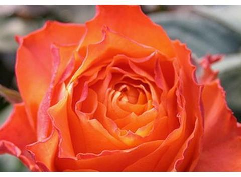 """喜欢菊花,不如养盆""""高档玫瑰""""浪漫橙色,鲜艳美丽,高贵优雅"""