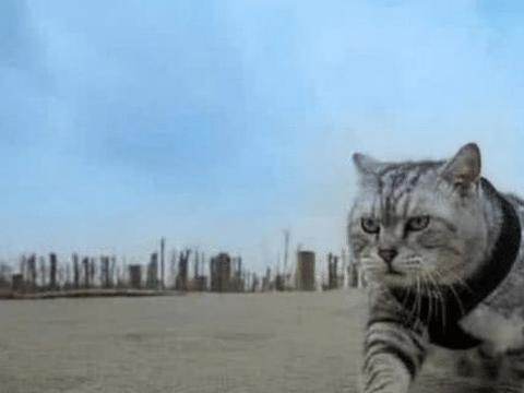 还记得那只被老虎收养的小猫咪吗?把自己当成老虎,回到猫群如何