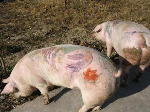 猪身上最脏的器官,有大量寄生虫,很多人不清楚