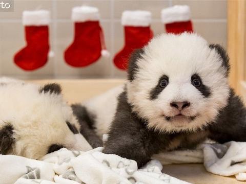 柏林动物园发布旅德大熊猫双胞胎近照 对镜卖萌惹人爱