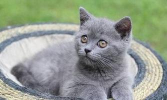 颜值那么高的布偶猫为什么养的人不多,反倒越来越多人养英短猫?