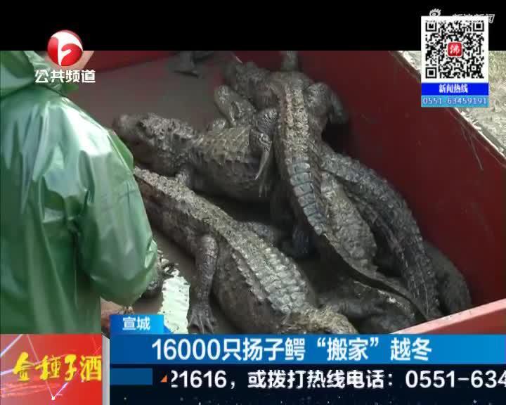 """《新闻午班车》宣城:16000只扬子鳄""""搬家""""越冬"""