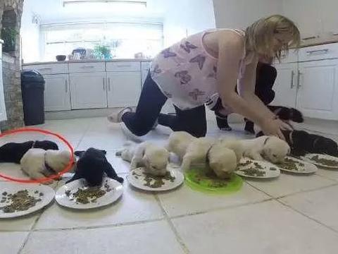 拉拉一口气生了10只,主人把奶狗排成一字形吃饭,被萌化了