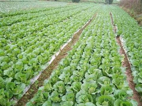 这菜一年可种植三茬,生长期短口感好,连茬种植产量高!