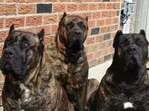 """犬界中,4种黑色猛犬,被誉为""""犬中四煞"""",中国一犬入围"""