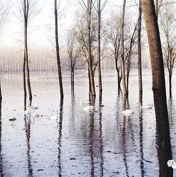 """三门峡王官湿地:黄河臂弯中的""""天鹅之家"""""""
