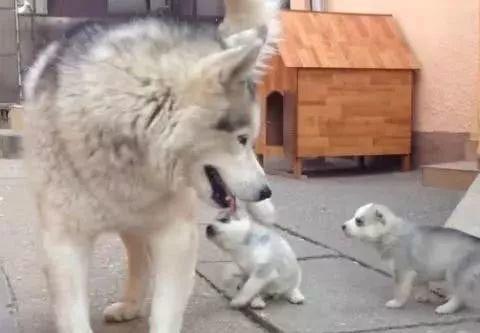 """二哈当了妈,却不甘心给孩子喂奶,还想到了个""""馊主意"""""""