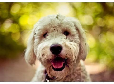 金毛与贵宾犬合体后的狗狗,你想象得出来吗?带你了解金德利犬