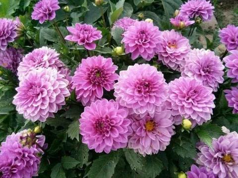 """家里3种花,养好长出""""红薯根"""",第1种开花""""巴掌大"""""""
