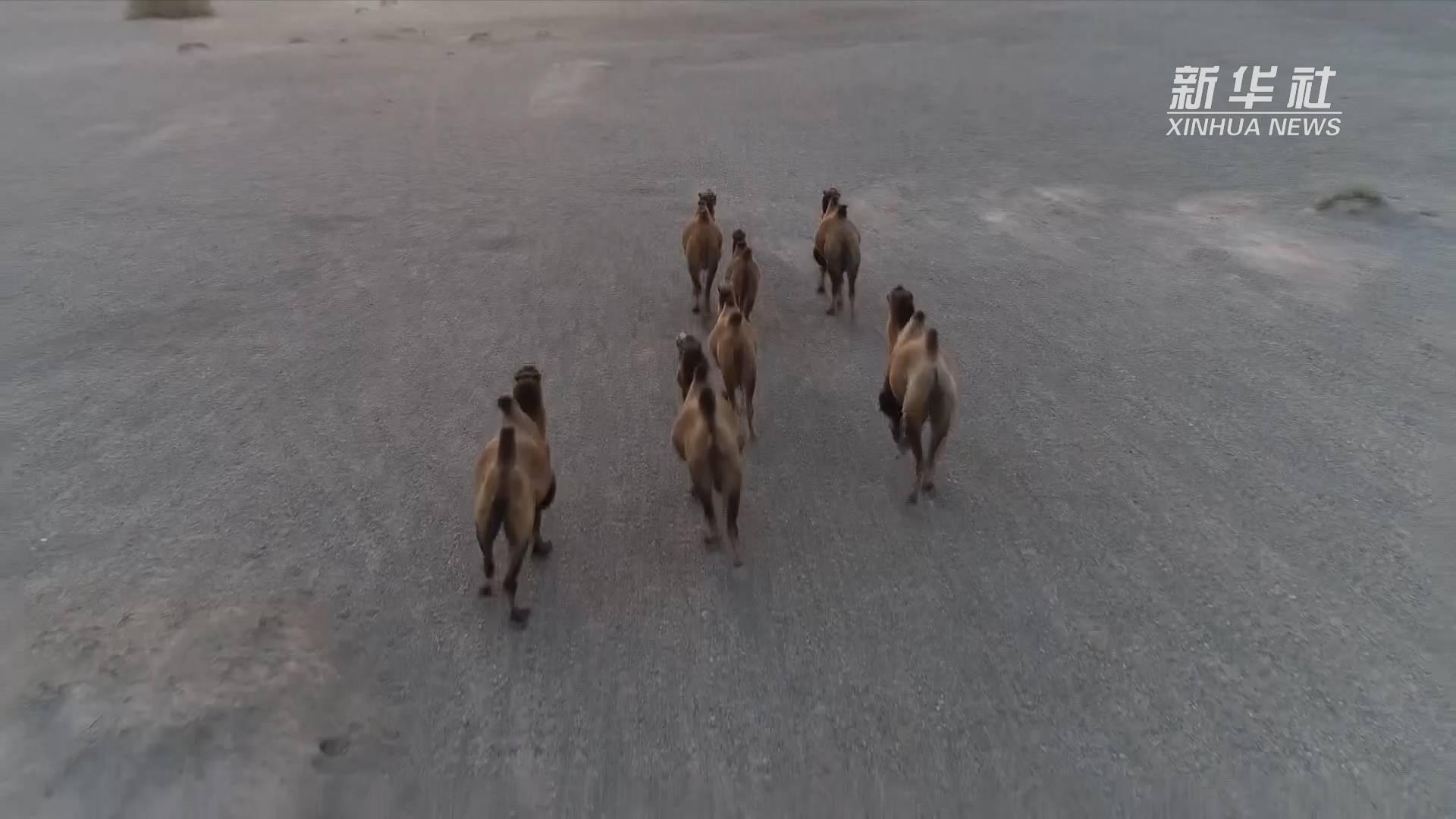 4峰野骆驼在甘肃敦煌再次放归