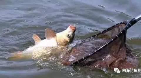 钓鲤鱼脱钩跑鱼,原来是它……呀!