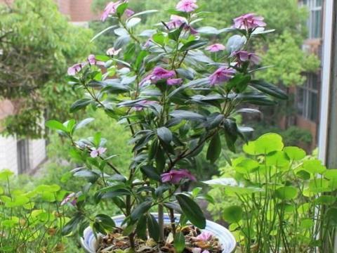 喜欢养花就选5种花,长势猛、爱爆盆,既养护省心又开花漂亮