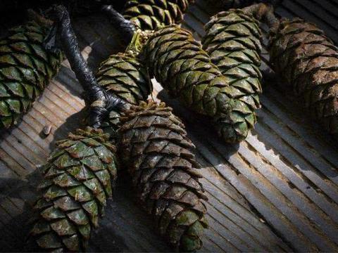 农民砍来当柴烧的树,果子是农村娃的零食,10月采摘卖40一斤