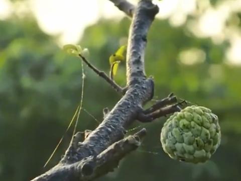 自古被称为上等滋补品,如今是最佳抗氧化水果,市场价60元一斤