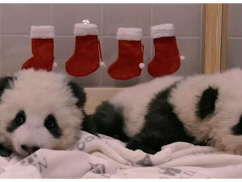 德国出生的双胞胎熊猫宝宝喜迎第一个圣诞,憨态可掬萌翻人