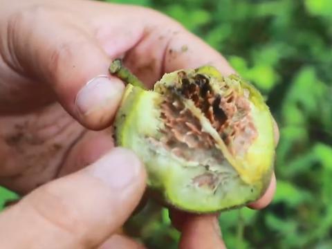 秋季山里最常见的野果,用牙签才能挑出果肉,每日吃几个对身体好
