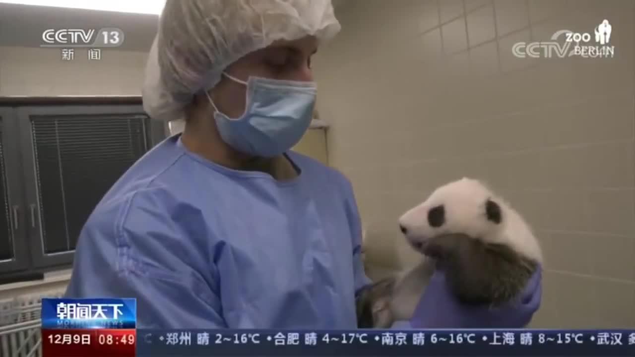 """柏林动物园双胞胎熊猫宝宝过""""百日"""" 萌翻外国网友!"""