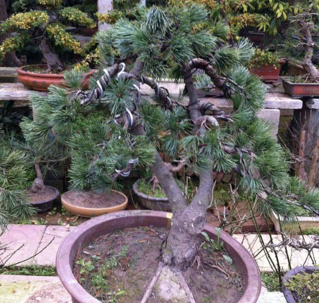 """2种盆景""""珍贵"""",常被称为""""聚财树"""",养在院子、阳台,价值高"""