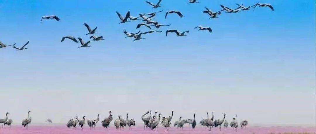 """今年鄱阳湖候鸟大军已经""""集结""""完毕 鸟美景美人更美"""