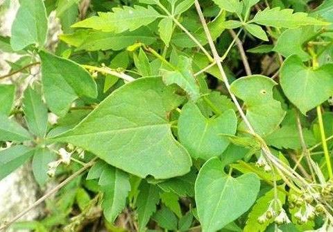 此野菜块根入药,可安神、养血、活络,解毒之功效。你认识吗