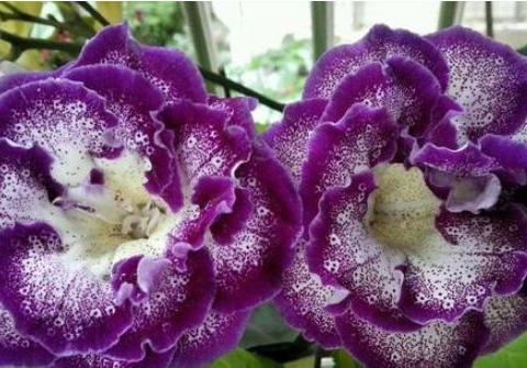 居家养花,几种花不比牡丹差!花期长又好养,次次开出拳头花