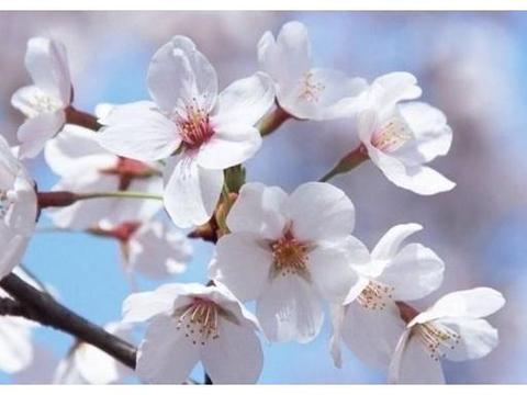 心理学:四片樱花,你最喜欢哪片?测出你和TA的感情能维持多久