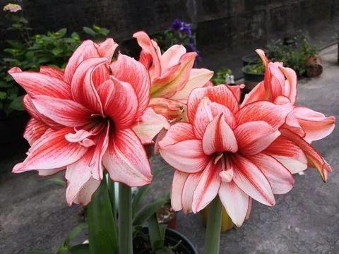 """养1种""""洋葱花"""",秋天栽盆里,冬天就开花,花苞又大又鲜艳"""