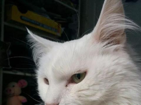 白猫脾气暴躁不服管教,4任宠主无奈弃养
