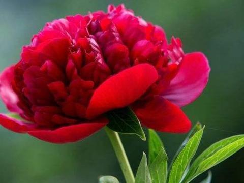 心理测试:三朵牡丹花,你最喜欢哪朵?测你将来身价超过了几个人