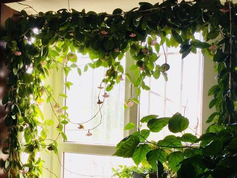 此款藤本花卉,好养如绿萝,花叶俱美,比兰花还香,室内也能栽!