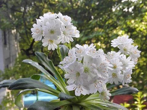 一种新型盆栽花卉,花叶俱美,养护简单如绿萝吊兰