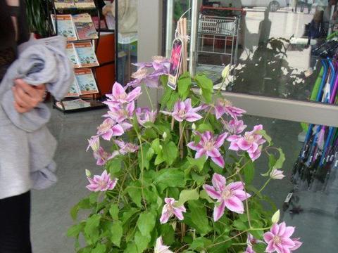"""一种原产中国的世界名花,观赏价值极高,被赞""""藤本花卉皇后"""""""
