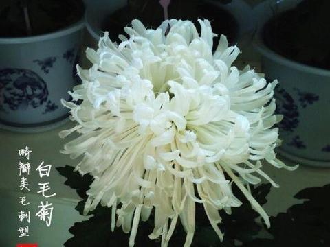"""喜欢菊花,就养这几盆""""菊中珍品"""",花开似牡丹,争奇斗艳!"""