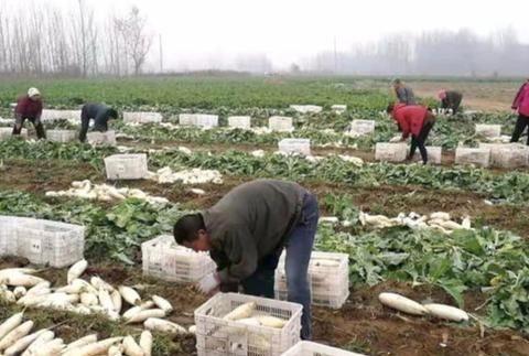 100亩萝卜卖不出去,5毛钱一根随便挑,菜农:快过年了,要钱用