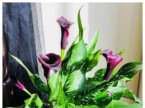 此款室内绿植,比绿萝还好养,观叶又赏花,花期很长,是盆栽佳品