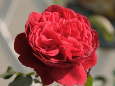 """喜欢玫瑰,不如养盆""""高档玫瑰""""红色伊甸园,古典美丽,花开火红"""