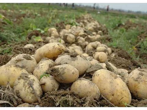 土豆什么时候施肥比较好?高产的同时又能高收入,农民要了解