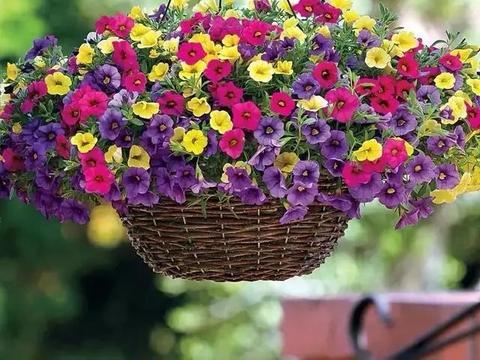 这种花开花量惊人,花朵名字也很特别,花色缤纷,养一盆很值得