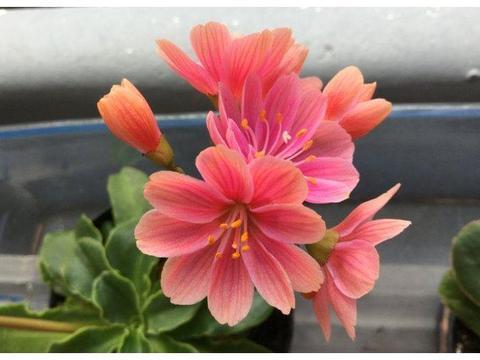 新型盆栽观赏花卉,漂亮又好养,扔进花盆就能活,四季花开不断